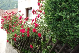 pr'Skminc roses