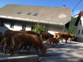 neighbor's cows on the way to their pasture